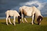 Dartmoor Ponies Eating Grass