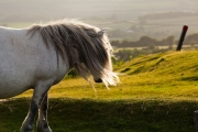 White Dartmoor Pony at Porkhill