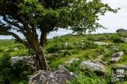 Tree near Combestone Tor