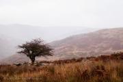 Dartmoor Tree