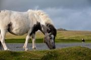 White Dartmoor Pony