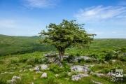Ancient Tree near Combestone Tor