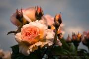 Rose Garden, Greenwich Park, London