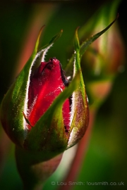Red Rose Buds, Macro Photography